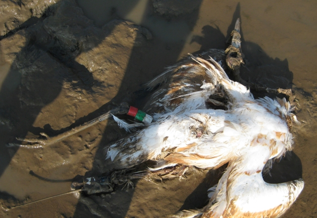 Dead Whooping Crane in Calhoun Co. GA, December 2010