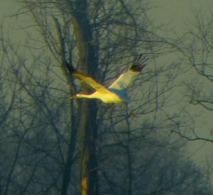Whooping Crane photographed through windshield, Henderson KY, December 12 2012. Photo by Charles Crawford.