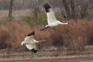 Louisiana Whooping Cranes – February 2012. By: Sara Zimorski, Louisiana Department of Wildlife and Fisheries. 2010 Cohort