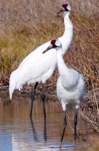 Whooping Cranes by Laura Erickson