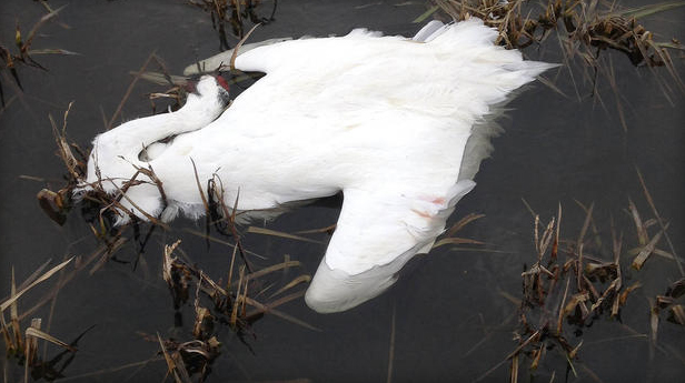 Dead female whooping crane found Friday, Feb. 7, 2014, with her wounded but still living mate near Roanoke in southwest Jefferson Davis Parish, La.  AP Photo/Louisiana Department of Wildlife and Fisheries