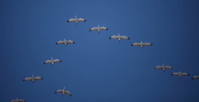 Sandhill Cranes migrating over Louisville, KY on November 18, 2014