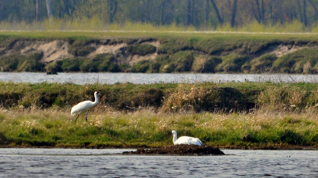 Whooping Crane pair #9-05 and #33-07 shown nesting in Wisconsin. Photo: Eva Szyszkoski/ICF