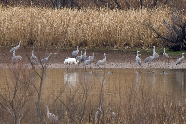 Whooping Crane and Sandhills at Hiwassee Refuge, December 14, 2008. Photo by R. Neal