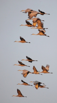 Sandhill Cranes flying at dusk in Oldham County, KY, January 8, 2014