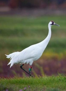 WHooping Crane male #33-07. Photo courtesy of the International Crane Foundation