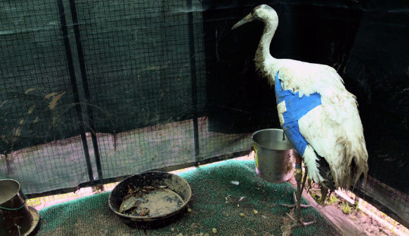 Male Whooping Crane shot in southwest LA recovering from surgery to repair shattered wing bones.