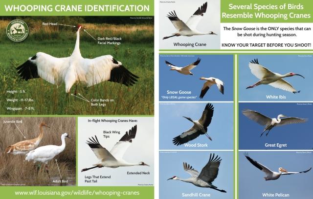 LDWF_whooping_crane_fact_sheet