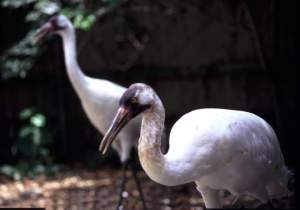 Whooping cranes are photographed at the Audubon Institute Zoo in New Orleans in 2004. (AP Photo/Audubon Institute, David Bull)
