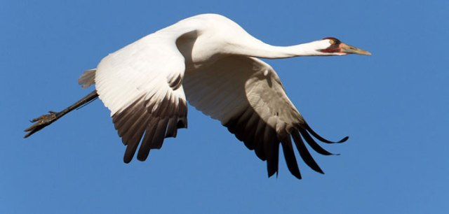 Whooping Crane. Photo by Steve Gifford