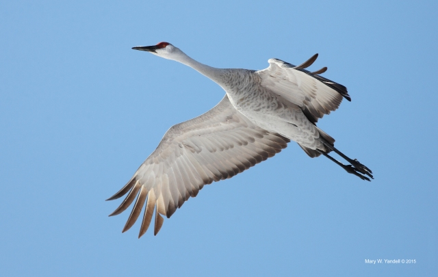 Sandhill Crane over Cecilia-Hardin Co KY_3 March 2015_IMG8037_MWYandell