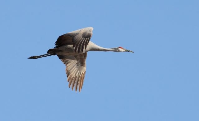 sandhill-crane_cecilia-hardin-co_22-feb-2014_img2219_mwy