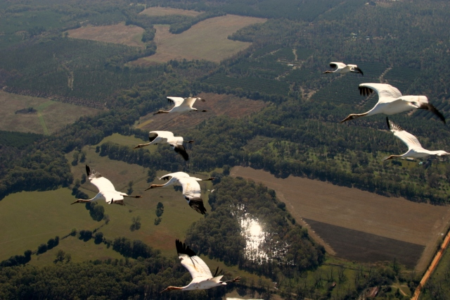 Operation Migration_young Whoopers following ultralight_terl-GA0003
